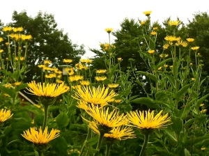 Alant - Lichtpflanze des Immenreiches