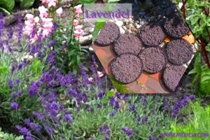 lavendel4.7.14
